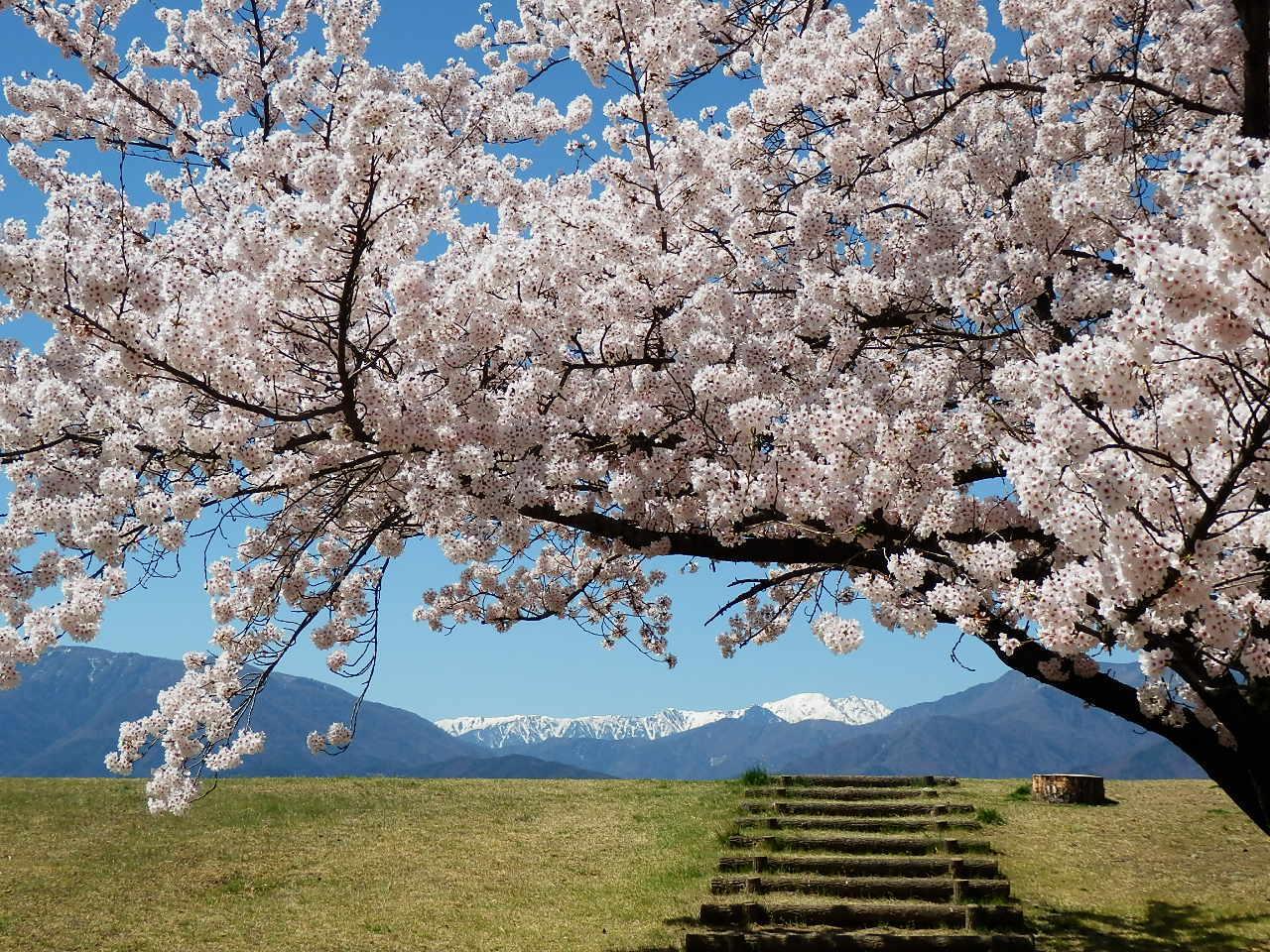 信玄堤と桜_201704-06
